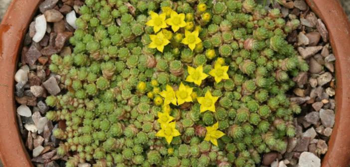 Sedum humifusum creeping stonecrop world of succulents mightylinksfo