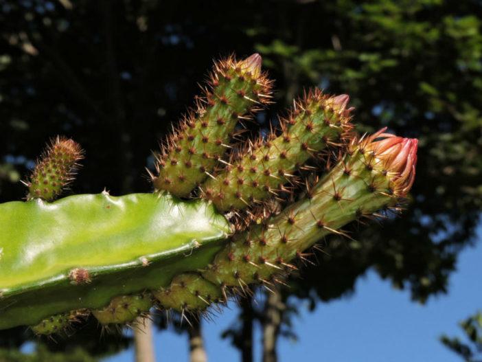 Weberocereus tonduzii - Ballerina Flower