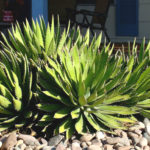 Agave univittata - Thorn-crested Century Plant