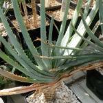 Aloe compressa