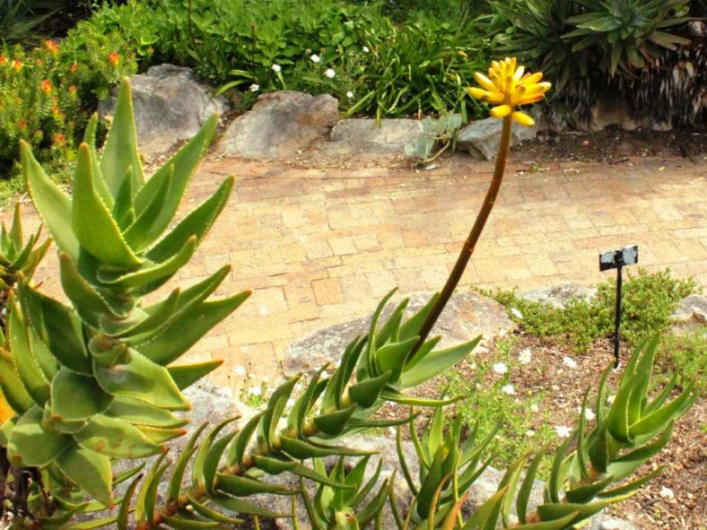 Aloiampelos commixta - Peninsula Rambling Aloe