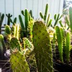 Consolea corallicola (Florida Semaphore Cactus)