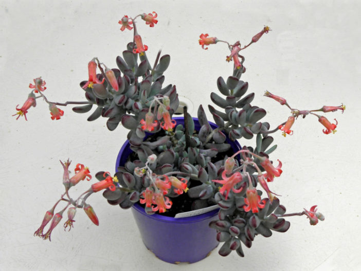 Cotyledon orbiculata 'Oophylla' - Lady Fingers
