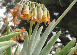 Cotyledon orbiculata var. oblonga 'Flavida' – Finger Aloe