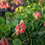 Cotyledon orbiculata var. oblonga 'Macrantha' (Green Pig's Ear)
