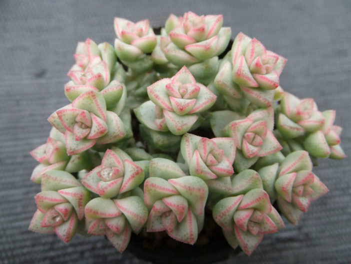 Crassula 'Pastel' - Variegated Tom Thumb