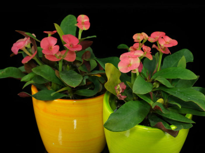 Care Crown Thorns (Euphorbia milii)