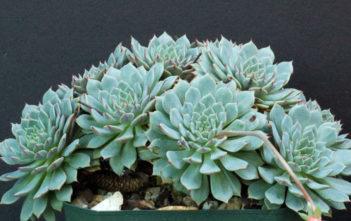 Echeveria 'Pinwheel'
