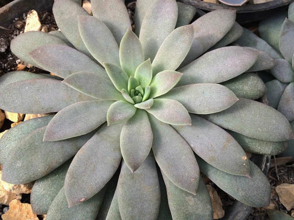 Echeveria Carnicolor World Of Succulents