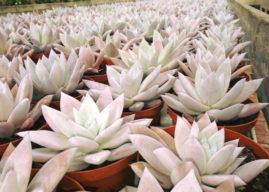Echeveria colorata 'Mexican Giant' – Mexican Giant Echeveria