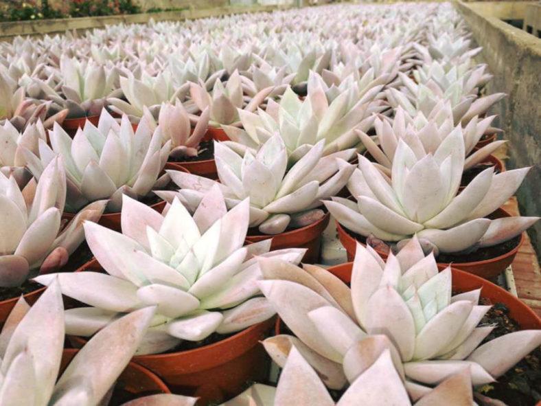 Echeveria colorata 'Mexican Giant' - Mexican Giant Echeveria