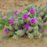 Echinocereus enneacanthus - Strawberry Cactus