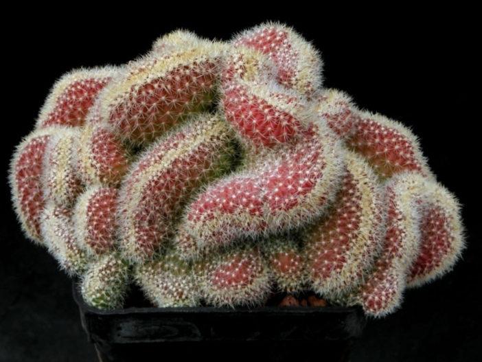 Echinopsis chamaecereus f. cristata