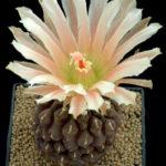 Eriosyce napina subsp. glabrescens