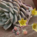 Graptoveria 'Titubans' - Porcelain Plant
