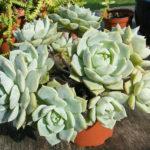 Graptoveria 'Titubans' (Porcelain Plant)