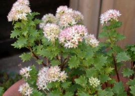 Hylotelephium populifolium – Poplar-leaved Stonecrop