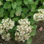 Hylotelephium populifolium - Poplar-leaved Stonecrop
