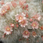 Mammillaria bocasana var. splendens