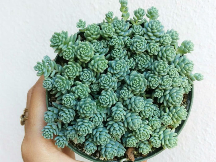 Sedum dasyphyllum 'Major' - Corsican Stonecrop