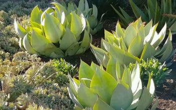 Agave mitis var. albidior - White Agave