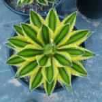 Agave univittata 'Quadricolor' (Quadricolor Century Plant) aka Agave lophantha 'Quadricolor'