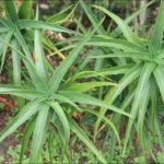 Aloiampelos striatula - Hardy Aloe