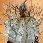 Astrophytum capricorne var. niveum - Goat's Horns