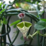 Ceropegia haygarthii - Lantern Flower