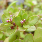 Crassula natans (Floating Pigmyweed)