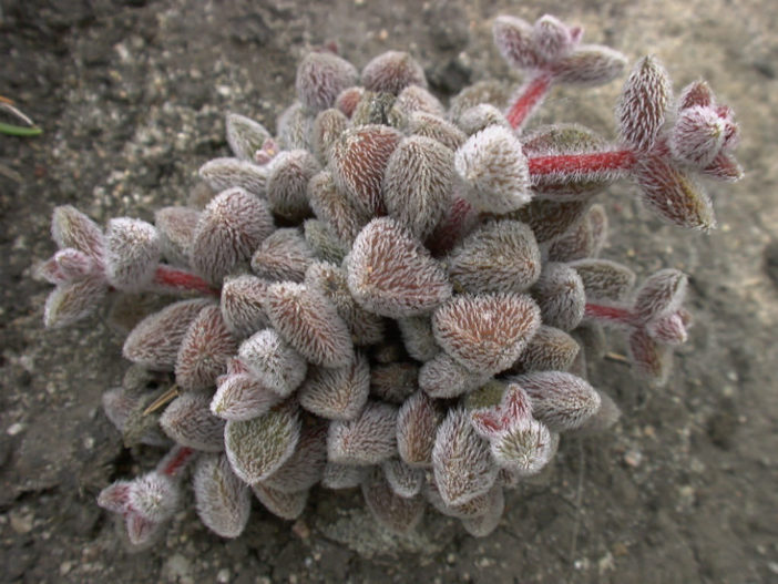 Crassula obovata var. dregeana - Hairy Crassula
