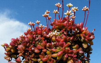 Crassula pubescens subsp. radicans - Red Carpet