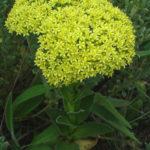 Crassula vaginata (Yellow Crassula)