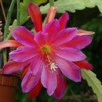 Epiphyllum 'Pegasus' (Pegasus Orchid Cactus)