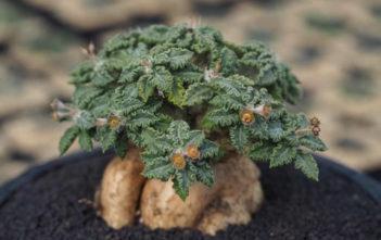 Euphorbia tulearensis