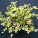 Graptopetalum pachyphyllum - Bluebean