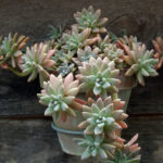 Graptosedum 'Francesco Baldi'