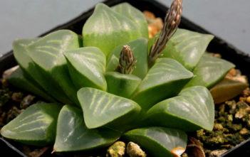 Haworthia mutica