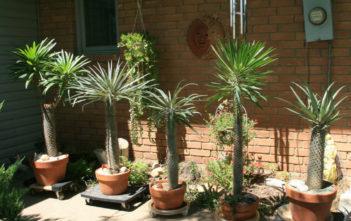 Madagascar Palm (Pachypodium lamerei)