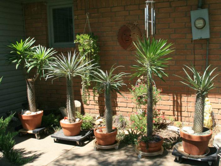Care Madagascar Palm (Pachypodium lamerei)