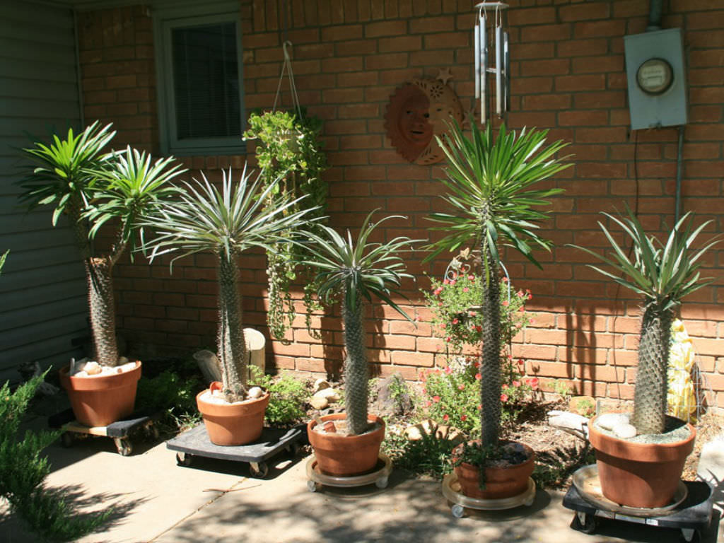 Madagascar-Palm-Pachypodium-lamerei Palm Houseplants Diseases on palm pattern, palm vector, palm border, palm beetle, palm seeds, palm christmas, palm roses, palm leaf chickee, palm trees, palm drawing, palm shoot, palm bonsai, palm tr, palm diagram, palm flowers, palm bamboo, palm rats, palm leaf cut out, palm shrubs, palm chamaedorea seifrizii,