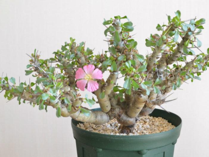 Monsonia patersonii - Bushman's Candle