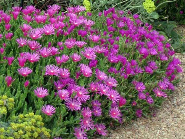 Care Purple Ice Plant (Delosperma cooperi)