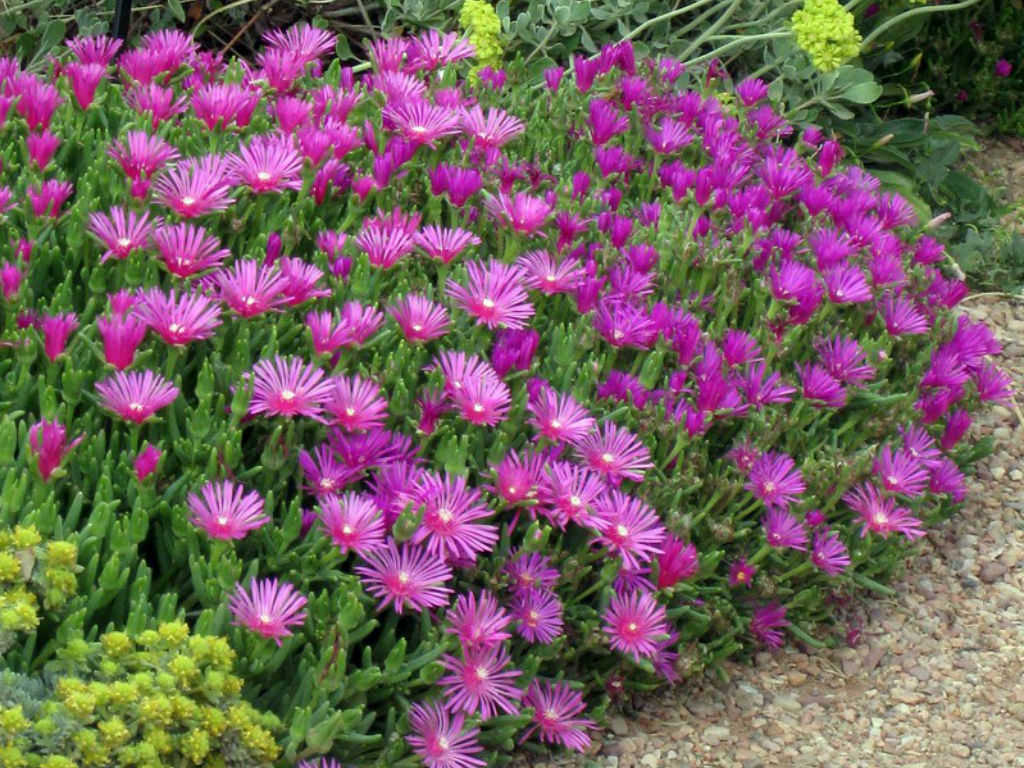 how to grow ice plant from seed