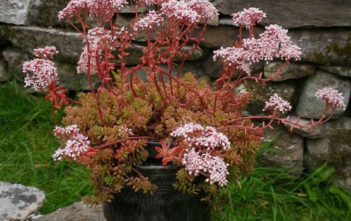 Sedum album 'Coral Carpet' - White Stonecrop