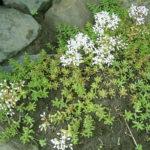 Sedum album - White Stonecrop