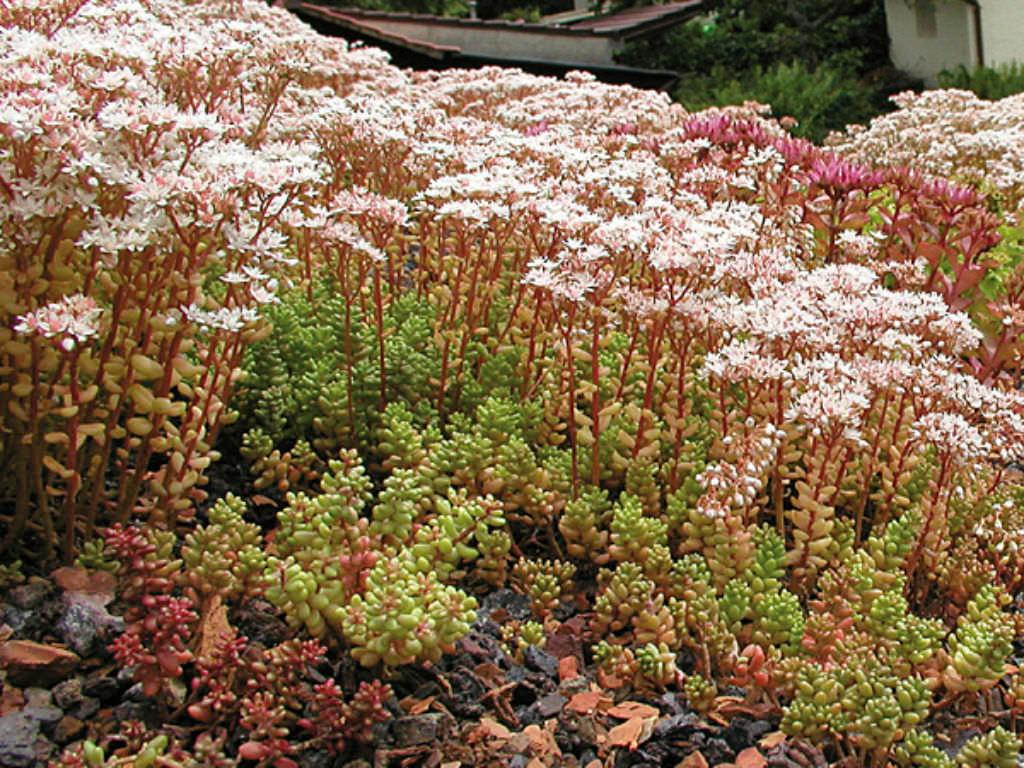 Sedum album white stonecrop world of succulents - Sedum album coral carpet ...