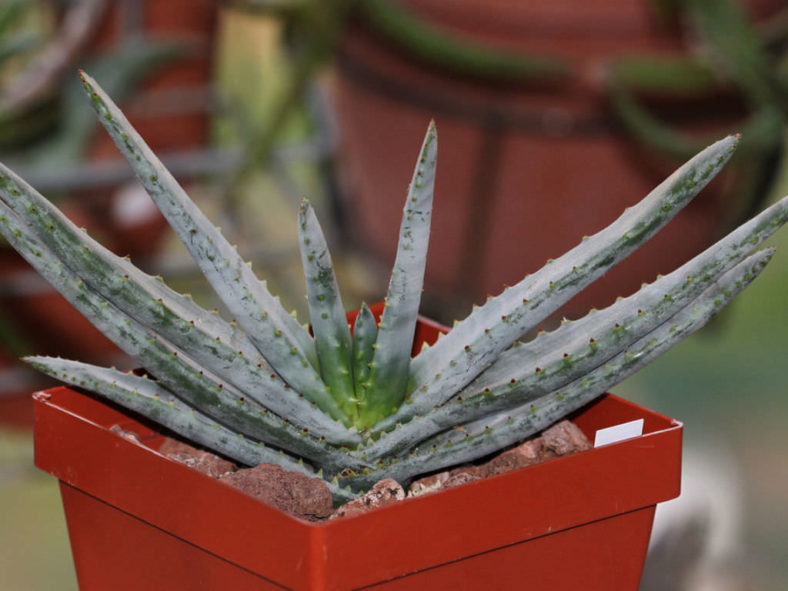 Aloe compressa var. schistophila