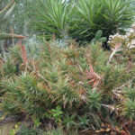 Aloiampelos gracilis - Rocket Aloe