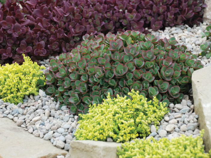 Design with Succulents (Sedum)